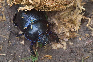 Dor beetle {Geotrupes stercorarius} by horse dung, France  -  Philippe Clement