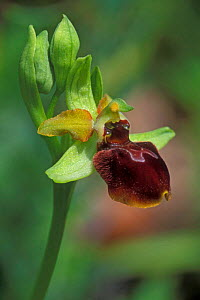 Early spider orchid flower {Ophrys sphegodes} France  -  Philippe Clement