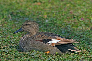 Male Gadwall {Anas strepera} Belgium  -  Philippe Clement
