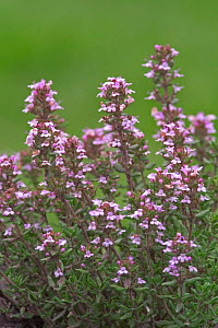 Garden thyme in flower {Thymus vulgaris} France  -  Philippe Clement