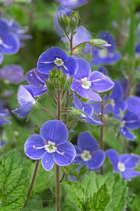 Germander speedwell {Veronica chamaedrys} France  -  Philippe Clement
