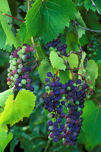 Bunch of Wild grapes on vine {Vitis sp} France  -  Philippe Clement