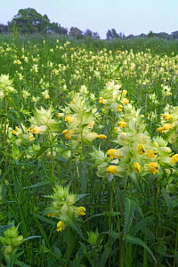 Greater yellow rattle in meadow {Rhinanthus angustifolia} Belgium - Philippe Clement