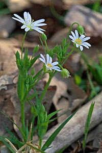 Greater stitchwort flowers {Stellaria holostea} France  -  Philippe Clement