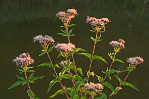 Hemp agrimony {Eupatorium cannabinum} France  -  Philippe Clement