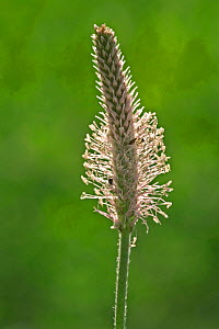 Hoary plantain {Plantago media} France  -  Philippe Clement