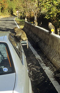 Formosan macaque (Macaca cyclopis) begging for food from tourist car, others sitting on roadside barrier, Taiwan  -  Nick Upton