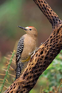 Gila woodpecker {Melanerpes uropygialis} on Cholla cactus, Arizona, USA. - John Cancalosi