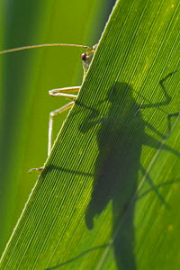 Katydid shadow viewed through leaf {Tettigoniidae} Belgium  -  Philippe Clement