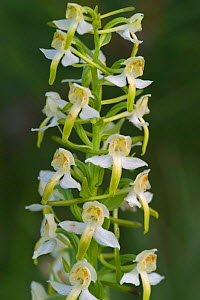 Lesser butterfly orchid flowers {Platanthera bifolia} France - Philippe Clement