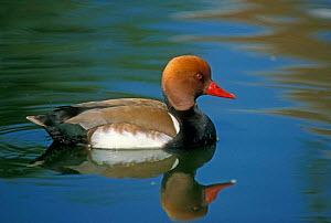 Red crested pochard male {Netta ruffina} Belgium  -  Philippe Clement