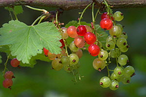 Redcurrants on bush {Ribes rubrum} France  -  Philippe Clement