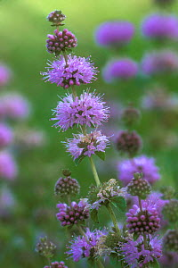 Water mint {Mentha aquatica} France  -  Philippe Clement