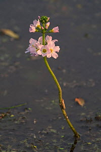Water violet {Hottonia palustris} France  -  Philippe Clement