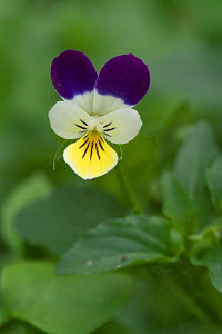 Wild pansy flower {Viola tricolor} Belgium  -  Philippe Clement
