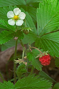 Wild strawberry flower and berry {Fragaria vesca} Luxembourg - Philippe Clement