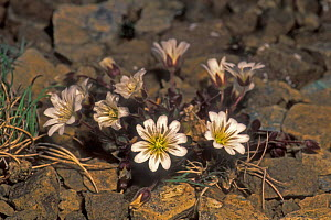 Edmonton's chickweed {Cerastium nigrescens} Scotland, UK, endemic to Keen of Hamar, Sheltand Is  -  Philippe Clement