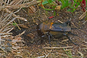 Field cricket entering burrow {Gryllus campestris} France  -  Philippe Clement