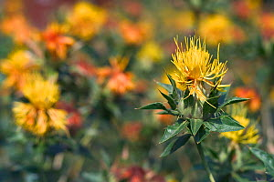 Safflower {Carthamus tinctorius} France  -  Philippe Clement