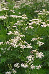 Sweet cicely in flower {Myrrhis odorata} Provence, France  -  Philippe Clement