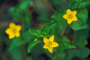 Yellow pimpernel in flower {Lysimachia nemorum} France  -  Philippe Clement