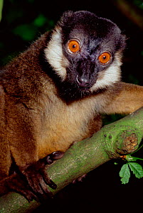 Male White collared brown lemur {Lemur fulvus albicollaris} captive, from Madagascar. Critically Endangered.  -  Rod Williams