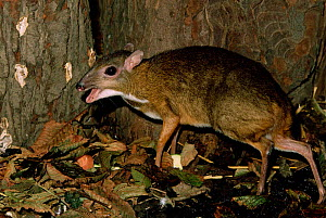 Female Lesser malay mouse deer / Chevrotain {Tragulus javanicus} captive, from SE Asia - Rod Williams