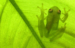 Glass frog {Hyalinobatrachium sp} Amazonia, SE Ecuador  -  Pete Oxford