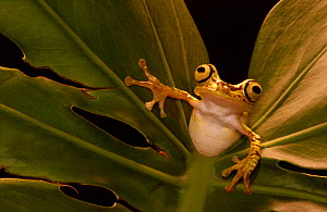 Chachi tree frog {Hyla picturata} Choco forest, Ecuador  -  Pete Oxford