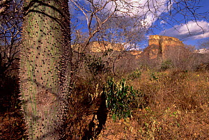 Tree with swollen trunk for water storage, Caatinga habitat, Brazil  -  Pete Oxford