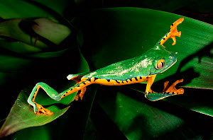 Leaf frog walking across leaves {Agalychnis calcarifer} Ecuador - Pete Oxford