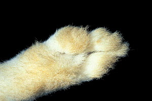 Close up of underside of foot of Mountain hare {Lepus timidus}  -  Ingo Arndt