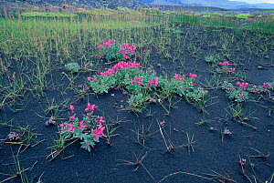 Arctic river beauty {Epilobium latifolium} growing on glacial deposits (Sandur) Iceland - Michael Hutchinson