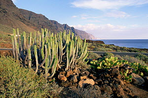 Canary spurge {Euphorbia canariensis} on Punta de Teno, Tenerife, Canary Is  -  Michael Hutchinson