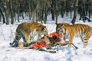 Siberian tigers feeding on deer carcass {Panthera tigris altaica} captive, Russia - Conrad Maufe