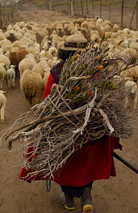 Quichua Indian returning from pasture with sheep + firewood, Andes, Ecuador. 2004 - Pete Oxford