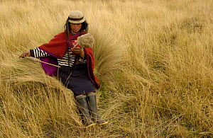 Quichua Indian spinning wool while watching over sheep, Paramo, Andes 2004 - Pete Oxford