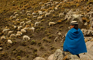Quichua Indian spinning wool while watching over sheep, Paramo, Andes, 2004 - Pete Oxford