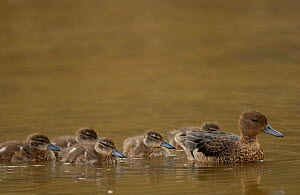 Andean teal duck with ducklings {Anas andium} Cajas NP. Ecuador - Pete Oxford