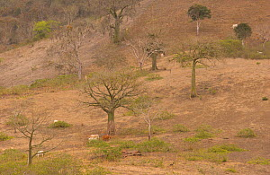 Kapok trees {Ceiba trischistandra} in area cleared for cattle, Ecuador  -  Pete Oxford