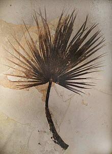 Palm frond fossil, Sabalites sp, eocene period, . Fossil Butte NM, Wyoming, USA. - Jeff Vanuga