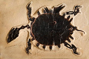 Turtle fossil from Eocene perioTrionyx sp - Fossil Butte NM, Wyoming, USA. - Jeff Vanuga