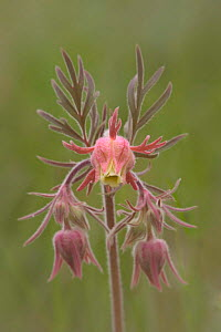 Prairie smoke wildflower {Geum triflorum} Wyoming, USA.  -  Jeff Vanuga