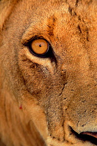 Close up of eye of African lion {Panthera leo} South Africa  -  Richard Du Toit