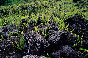 Ferns growing in lava, Piton de la Fornaise, La Reunion, Indian Ocean - Richard Du Toit