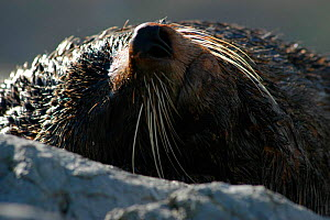 New Zealand fur seal sleeping {Arctocephalus forsteri} Kaikoura, New Zealand  -  Adam White