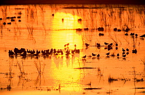 Lapwing flock at dawn on marsh {Vanellus vanellus} winter, UK. - STEVE KNELL