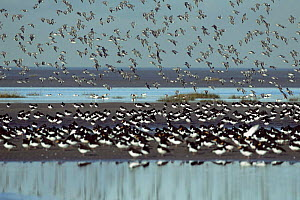 Ribble estuary with flocks of waders flying and roosting, Lancashire, winter, UK  -  Steve Knell