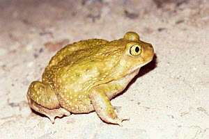 Couch's spadefoot toad {Scaphiopus couchii} Arizona, USA.  -  Barry Mansell