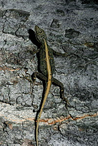 Anole lizard {Anolis nebuloides} Sonora, Mexico  -  Barry Mansell